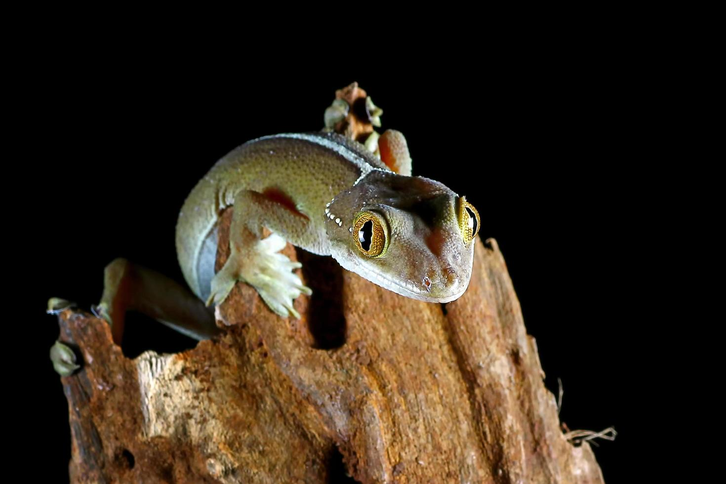vit linje gecko ödla foto