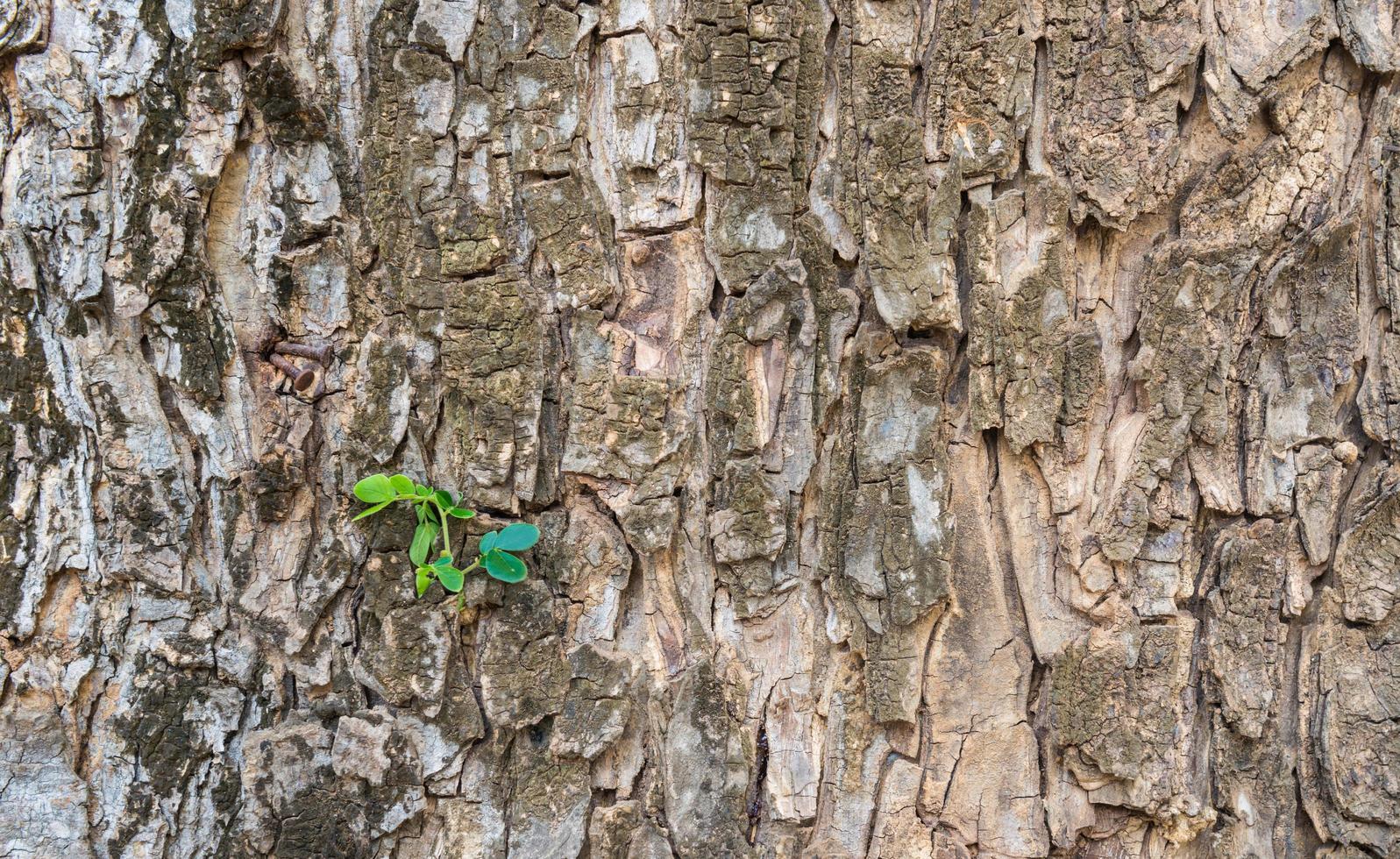 textur av den bruna regnbarken på ett träd med gröna groddar på den foto