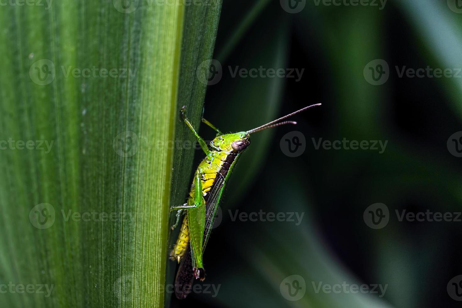 närbild av gräshoppa på ett blad foto