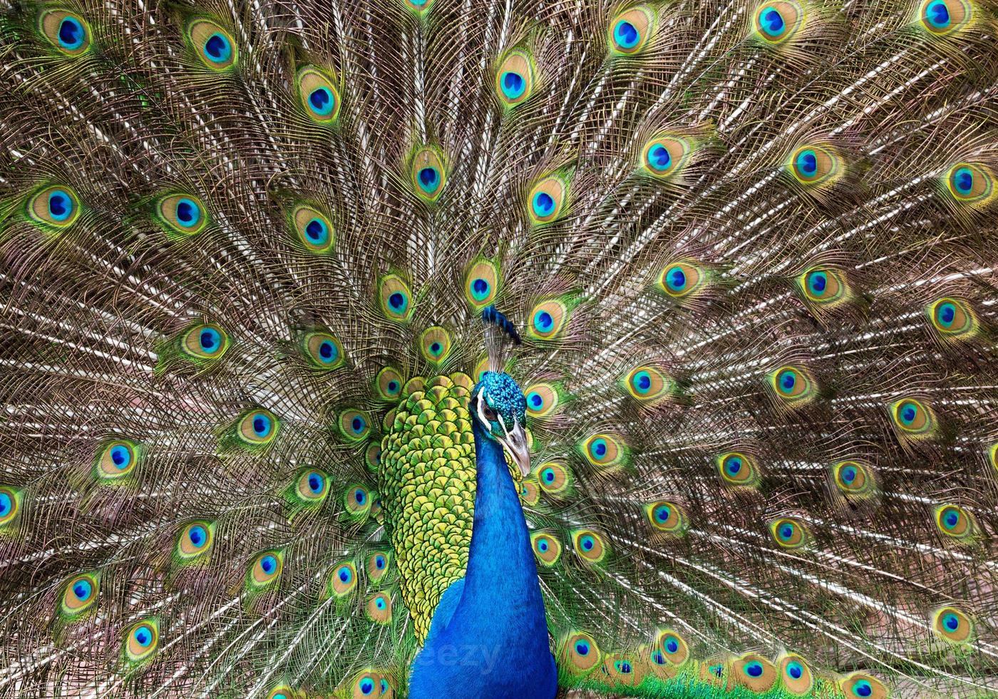 påfågelfjädrar vackert fördelade. foto