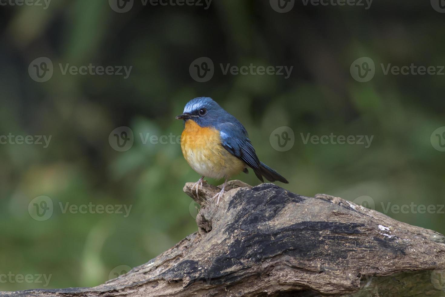 blå fågel tickells blå flugsnappare foto