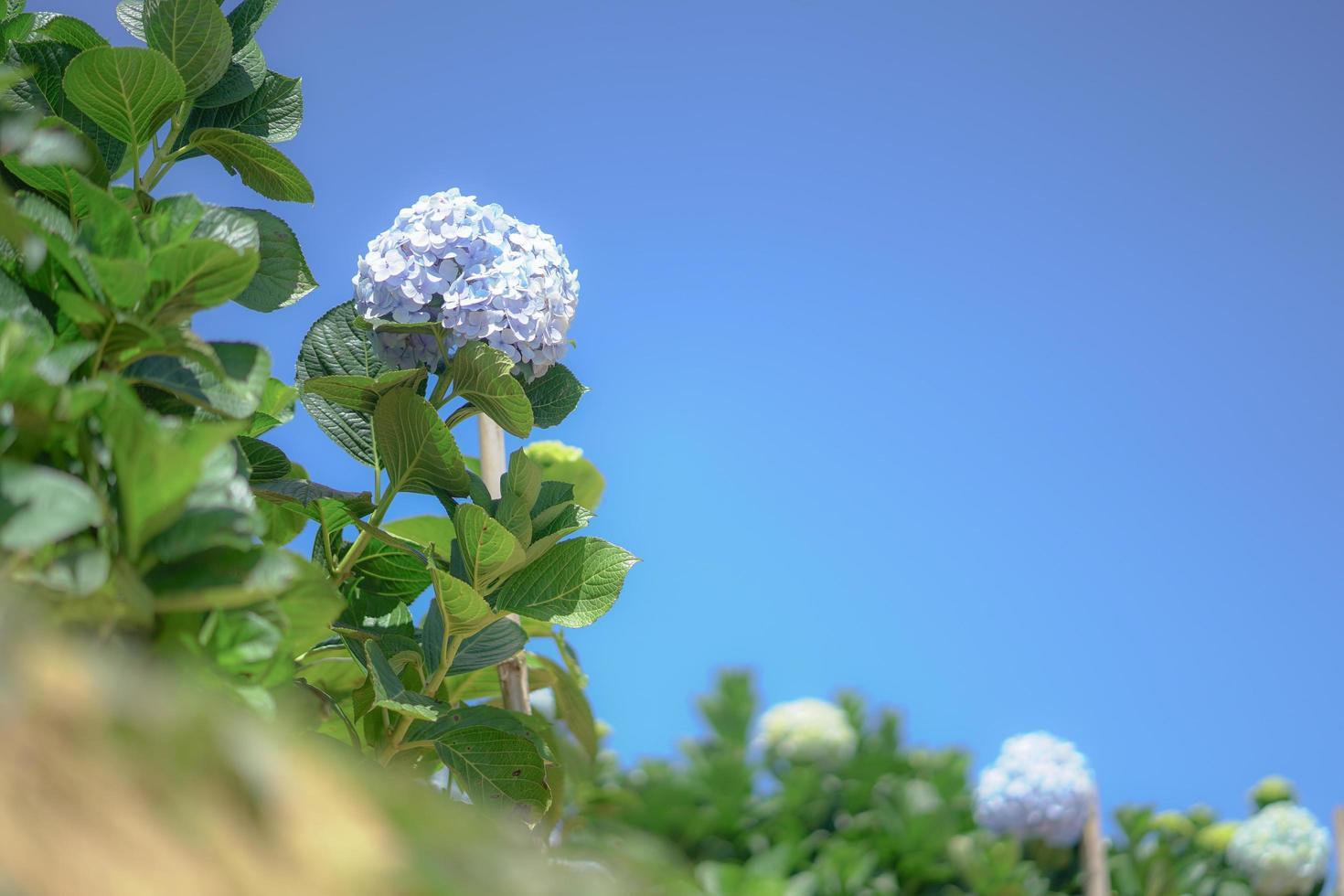vackra hortensia blommor, hortensia macrophylla blommar i trädgården foto