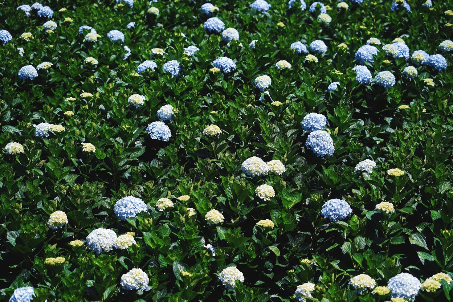 hortensia blommor blommar i dalats trädgård foto