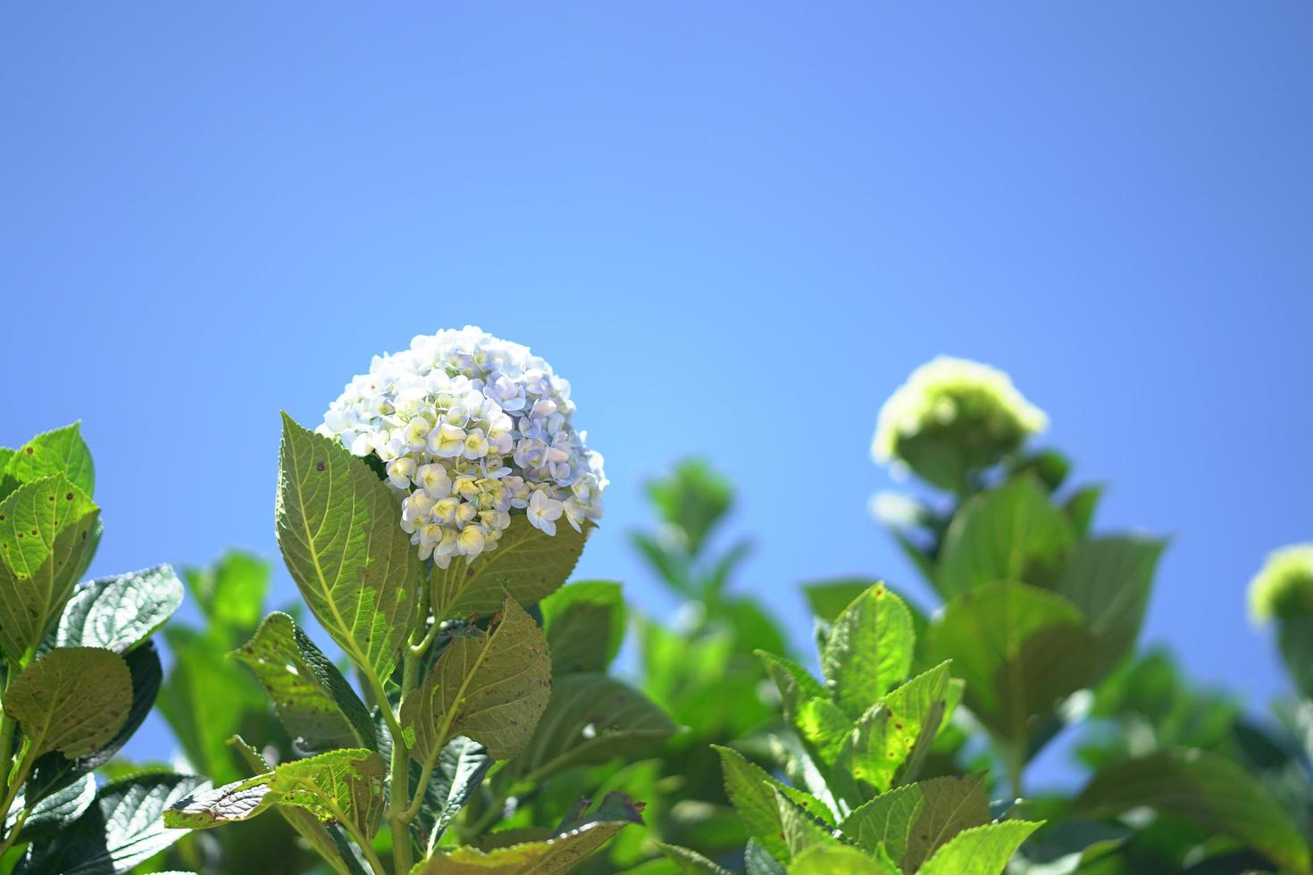 blå hortensia som blommar på den blå himlen foto