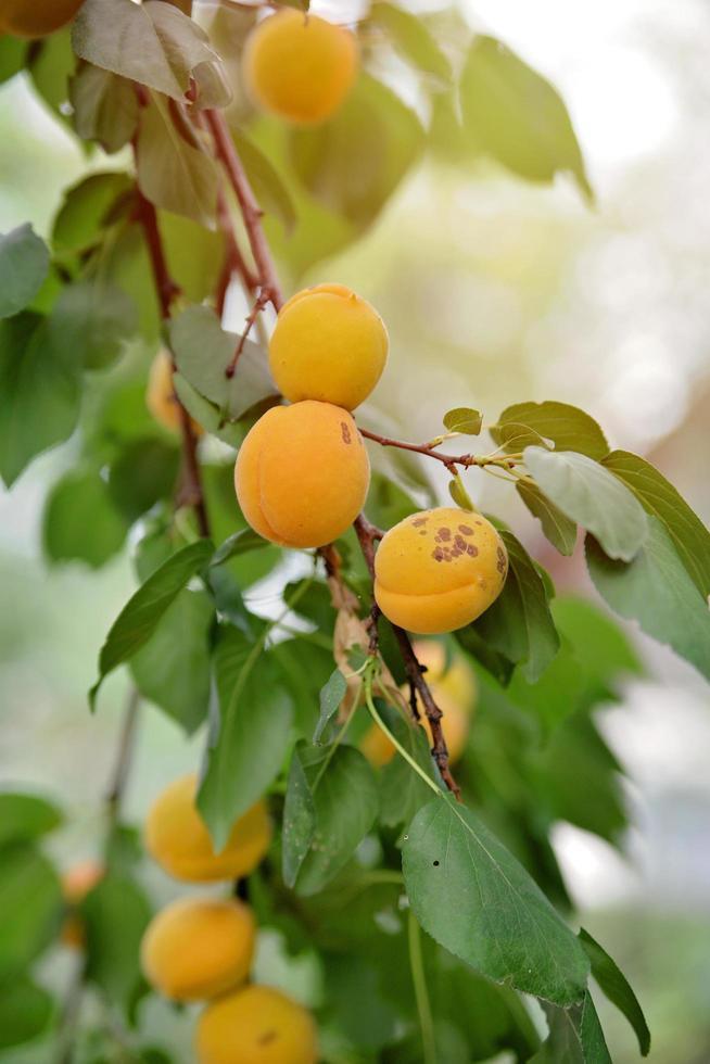 mogna saftiga söta välsmakande aprikoser på en trädgren på sommaren. foto