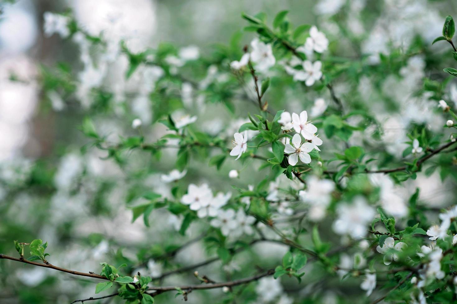 körsbärsblommor i full blom. körsbärsblommor i små kluster på en gren av ett körsbärsträd som förvandlas till vitt på en grön bakgrund. grunt skärpedjup. blommig konsistens. mjukt fokus. foto