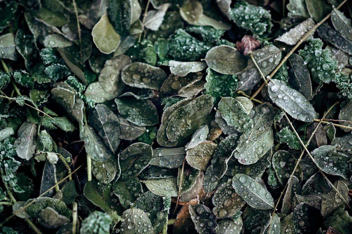 konsistensen av frysta akacialöv. abstrakt naturlig bakgrund. mjukt fokus. foto