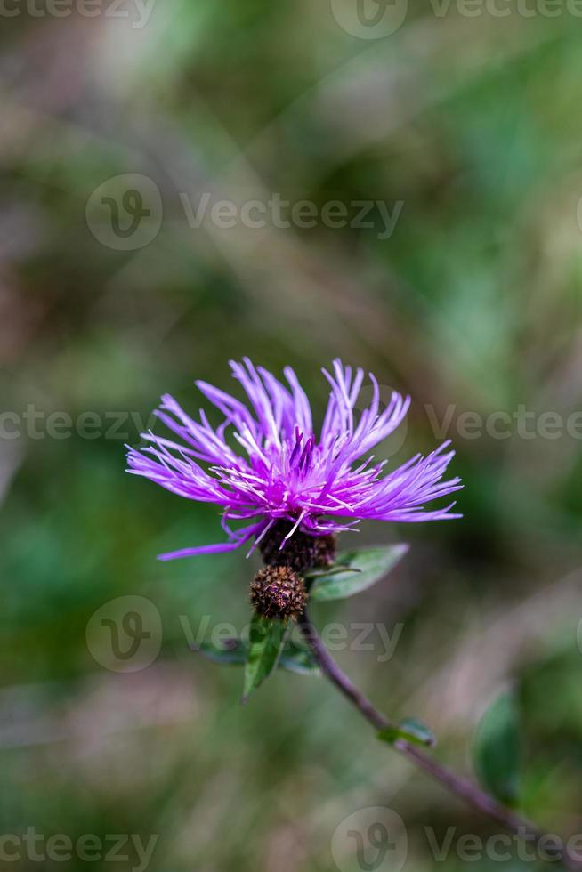 lila blomma på en äng foto