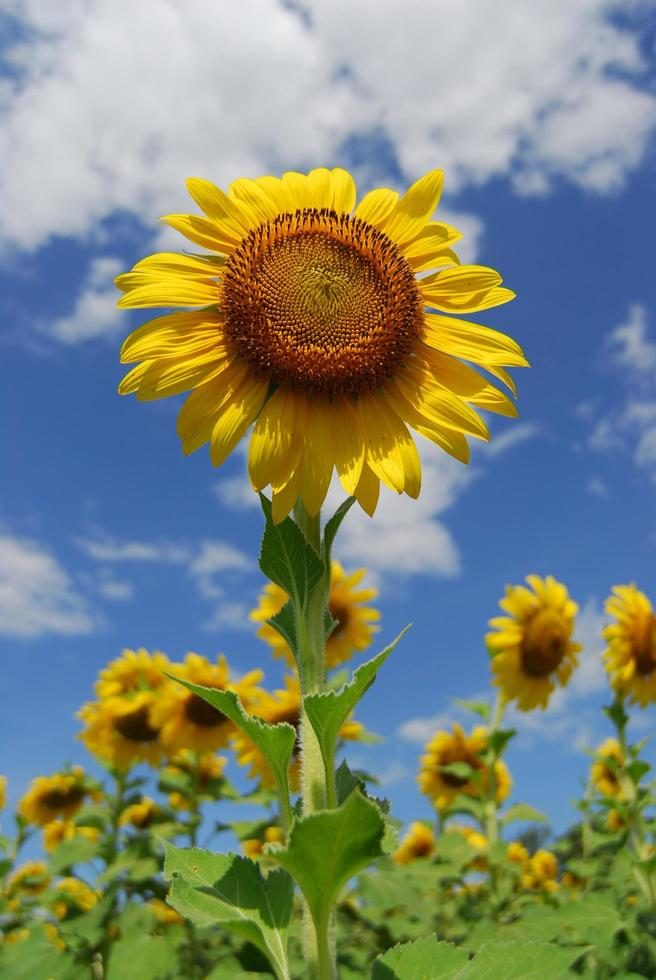 stor solros i trädgården och blå himmel, thailand foto