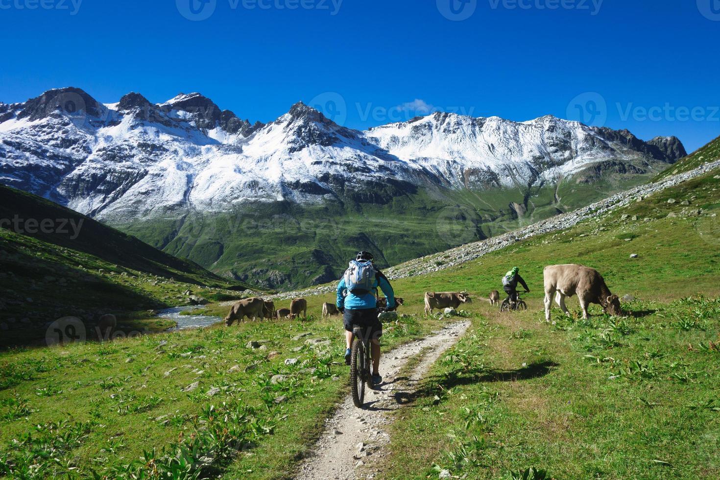 fjällcyklist passerar förbi en flock kor foto