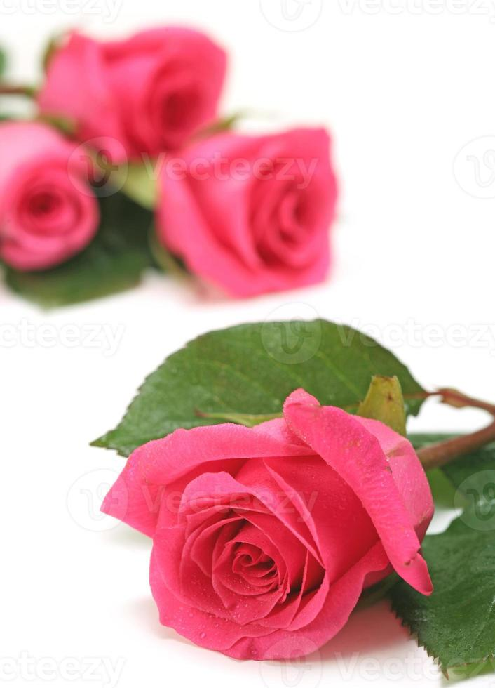 närbild av rosa rosor på en vit bakgrund foto