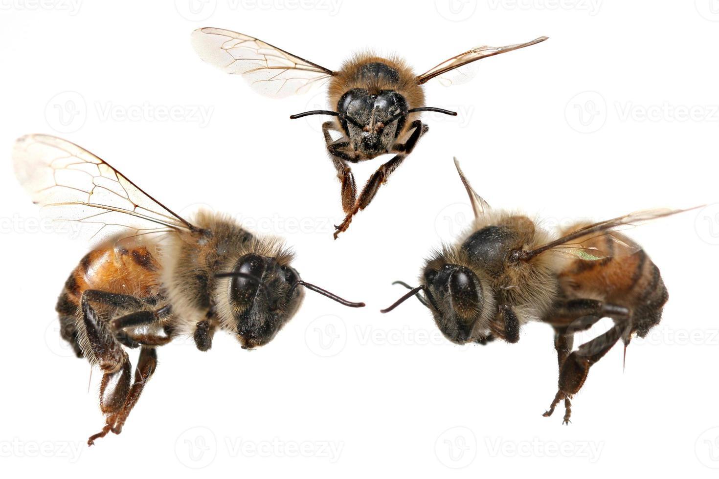 3 olika vinklar på en nordamerikansk honungsbi foto