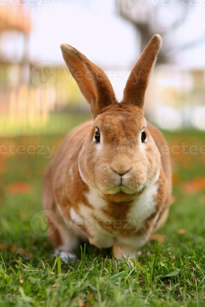brun kanin utanför foto