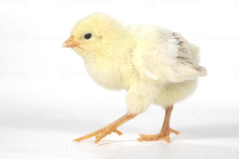 bedårande baby kyckling kyckling på vit bakgrund foto