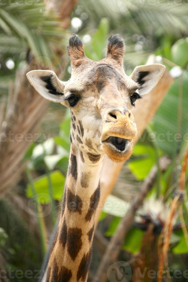 rolig talande giraff foto