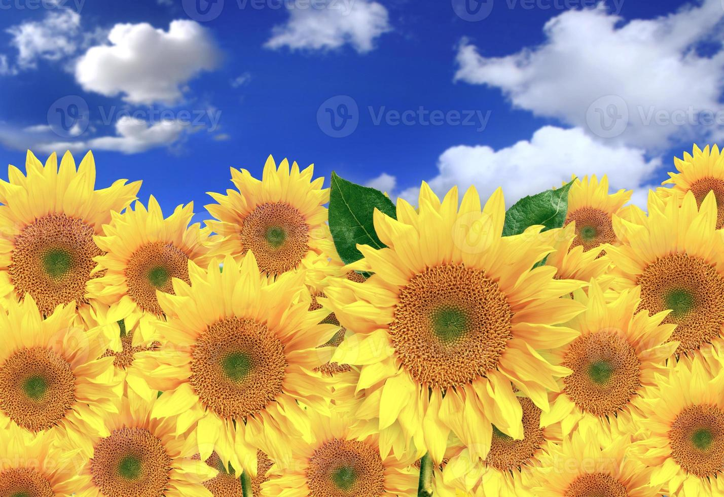 glada solrosor på ett fält en solig dag foto