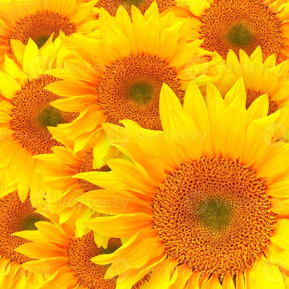 solrosblad på nära håll foto