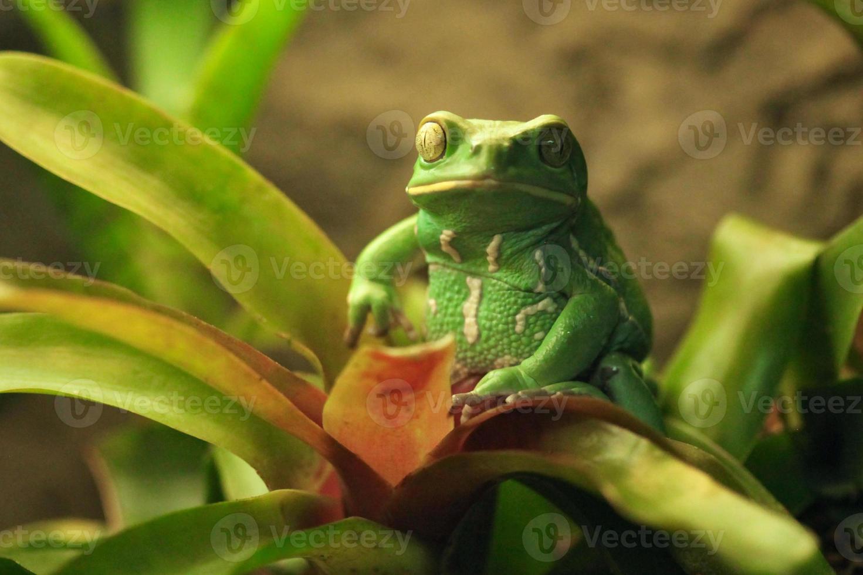 vacker vaxaktig apa groda sitter på en växt foto
