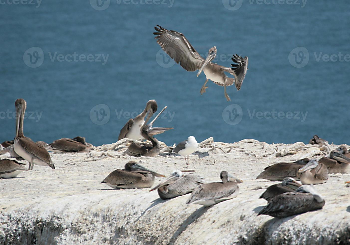 vilda pelikaner på en klippa som kommunicerar foto