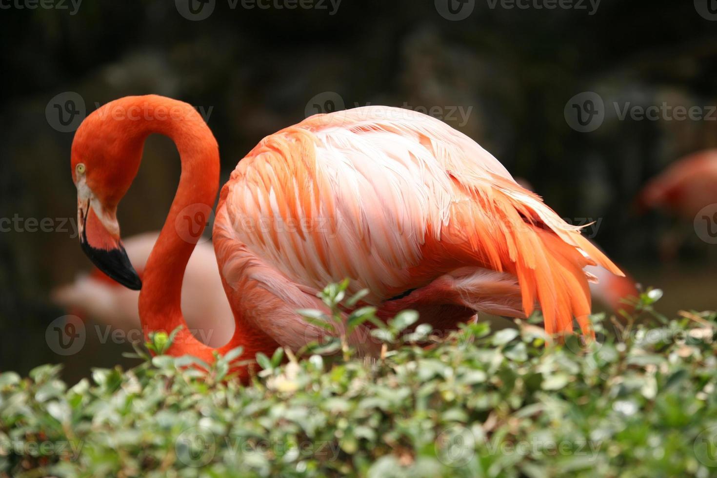 vacker flamingo utomhus foto