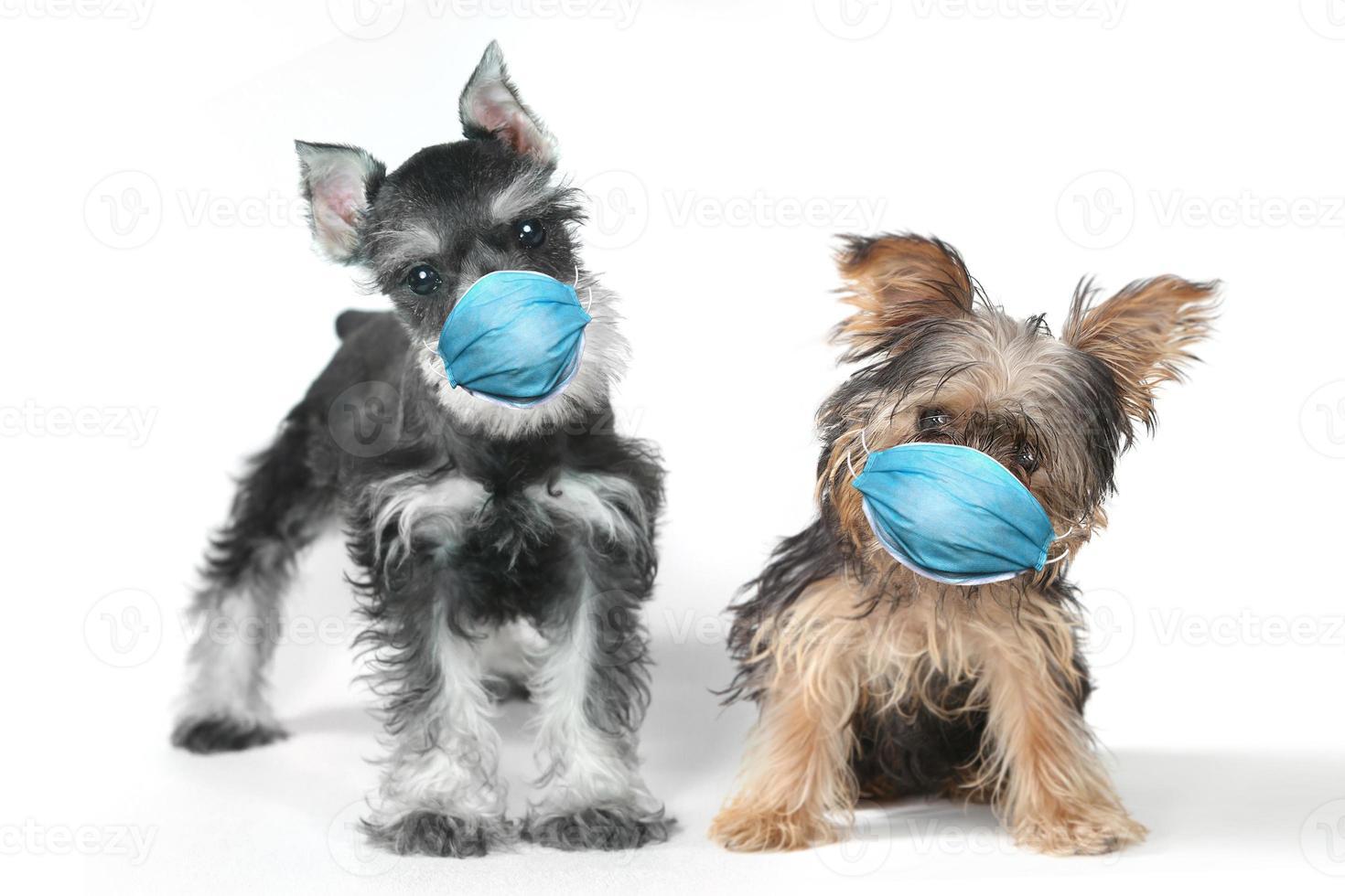 yorkshire terrier och schnauzer valp bär ppe mask foto