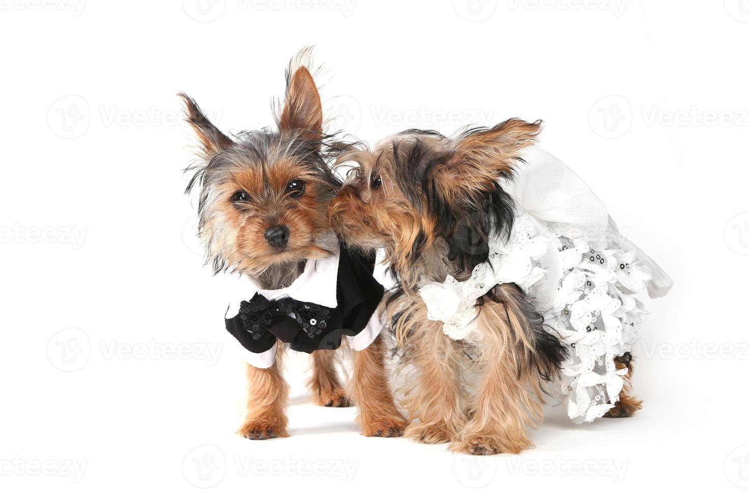bruden och brudgummen yorkshire terrier valpar på vitt foto