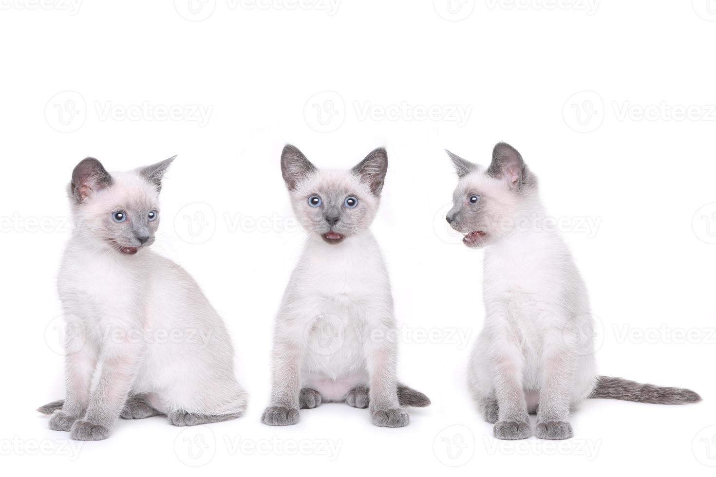 siamesiska kattungar på en vit bakgrund foto