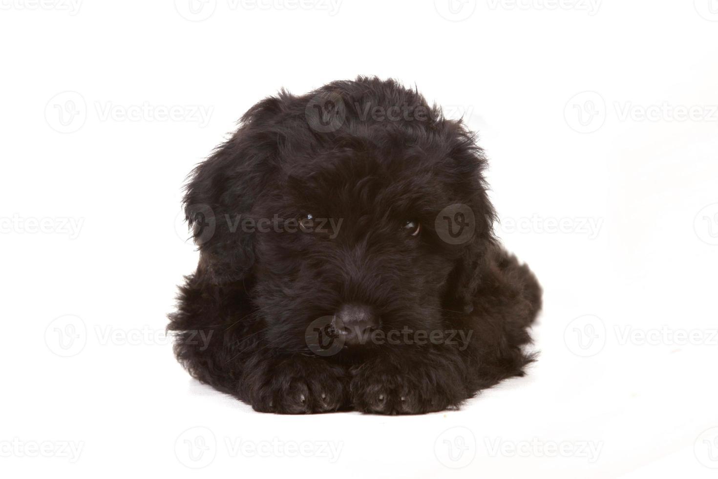 liten svart rysk terriervalp på vit bakgrund foto
