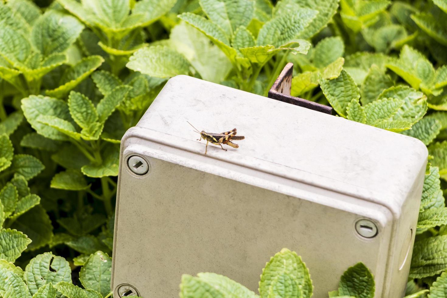 gräshoppa på elbox vid perdana botaniska trädgård, kuala lumpur. foto