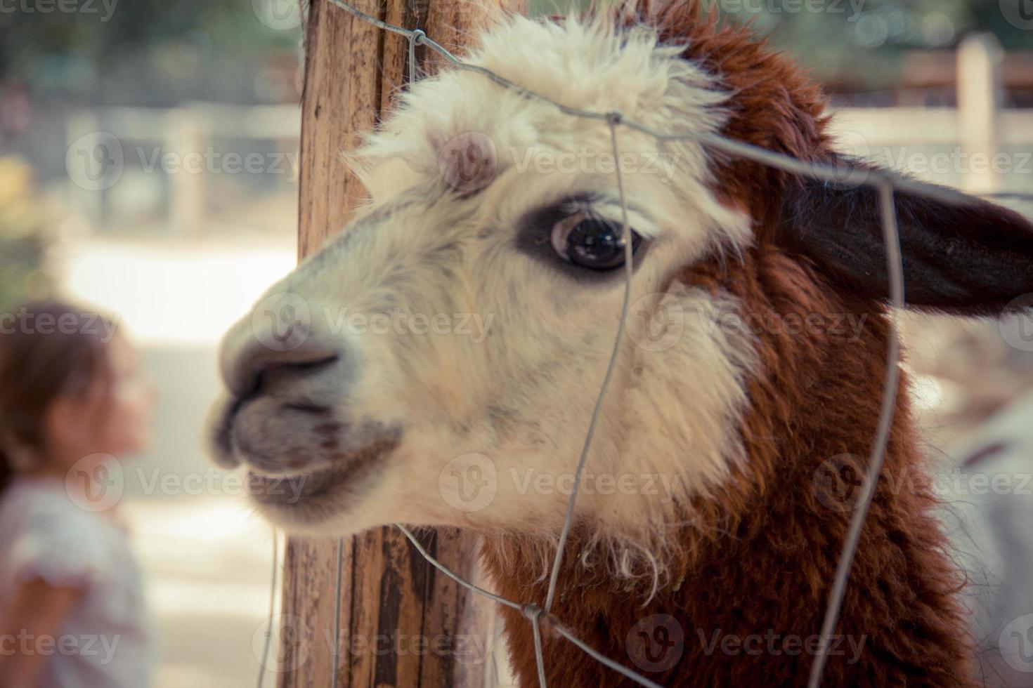 lama kikar genom staketet och ler till kameran foto