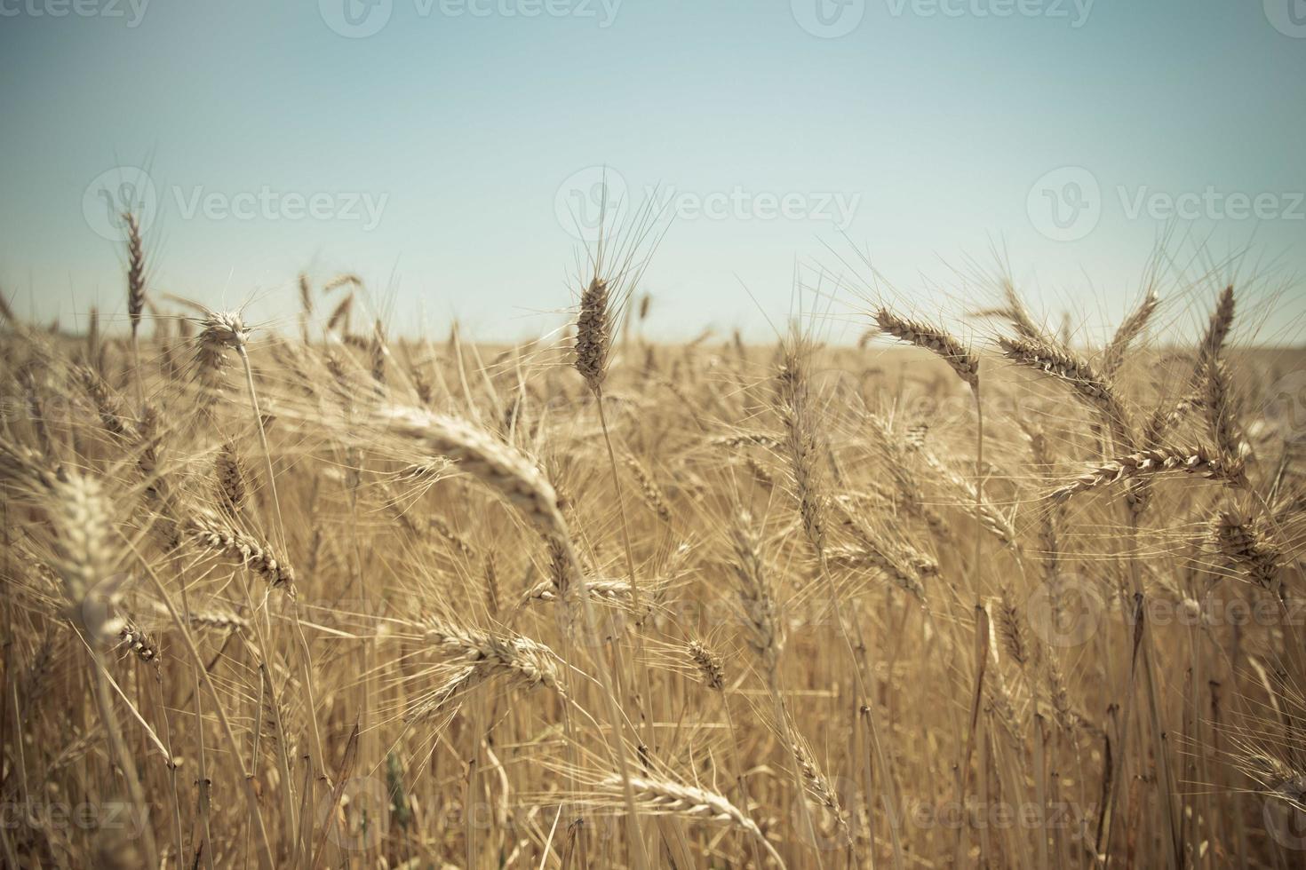 närbild av ett gyllene vetefält foto