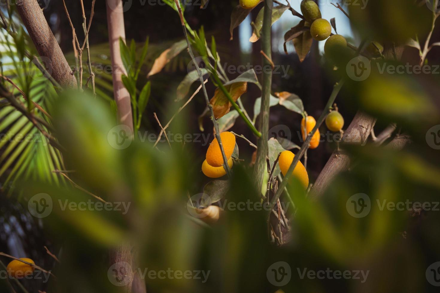 oval kumquat träd med frukter foto