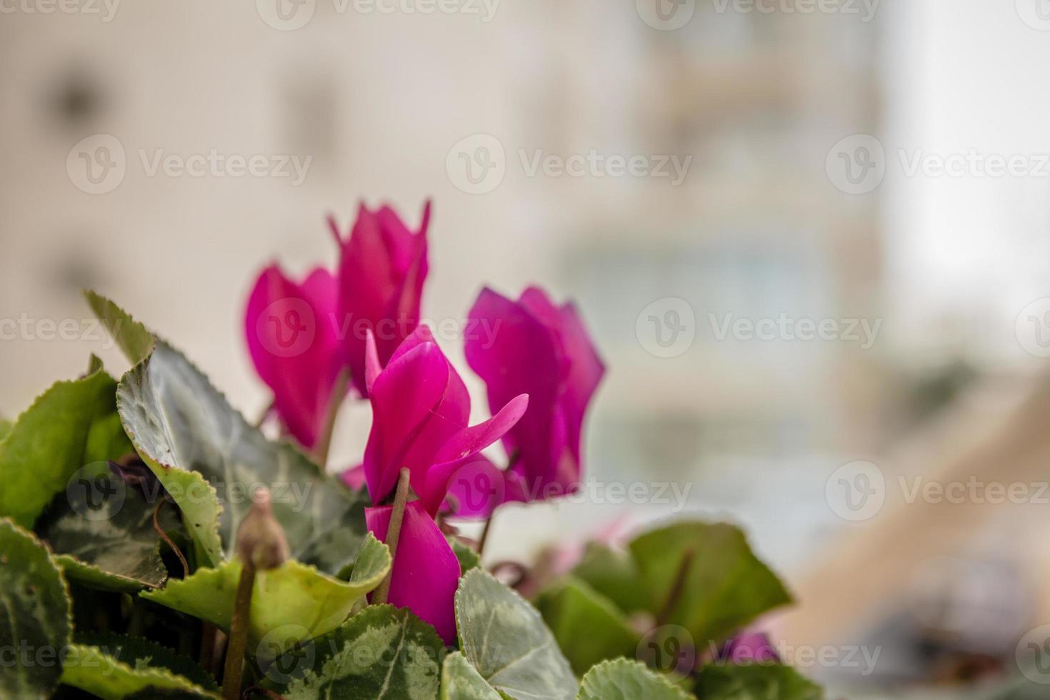 rosa cyklamenblommor foto