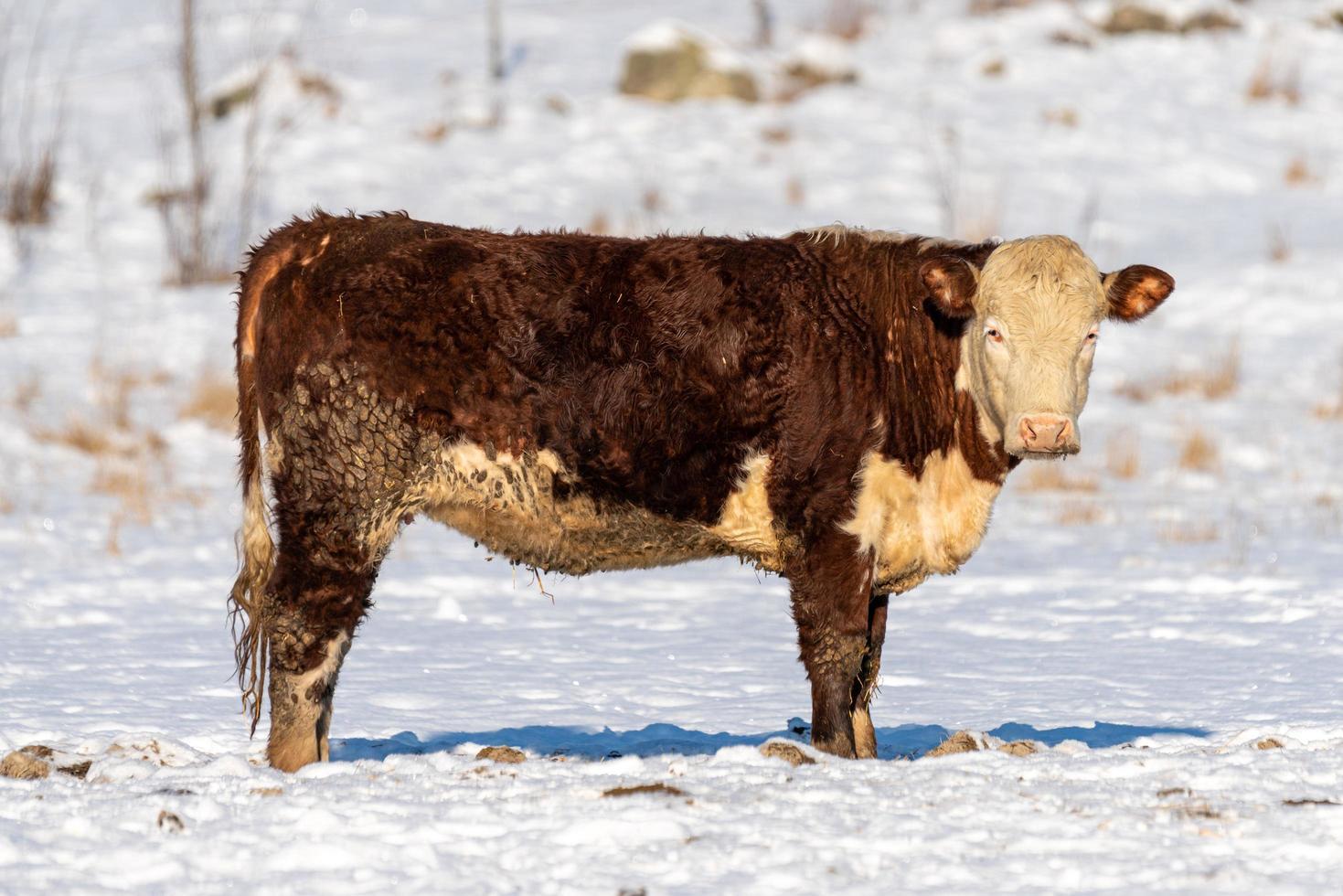 smutsig brun ko utomhus i en betesmark en solig vinterdag foto