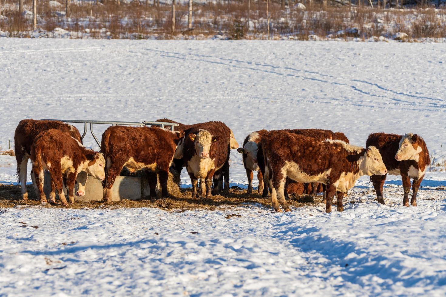 flock kor som står i snön i en vinterhage i sverige foto