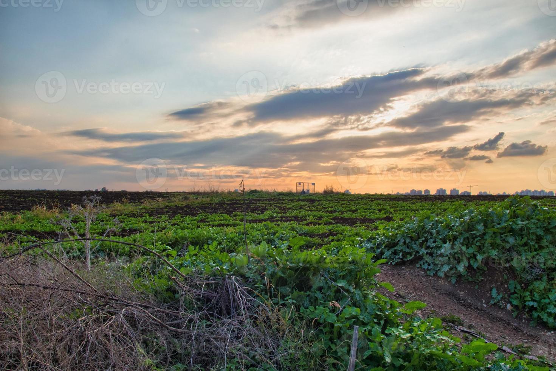 grödor som växer på ett fält på landsbygden under solnedgången foto