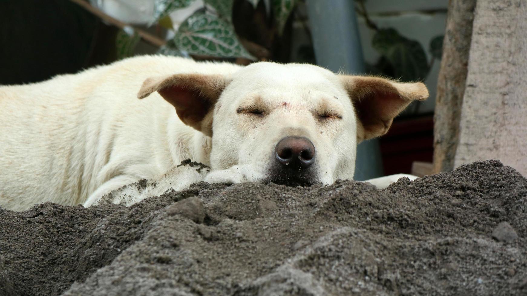 en hund som gillar att sova på sanden under dagen foto