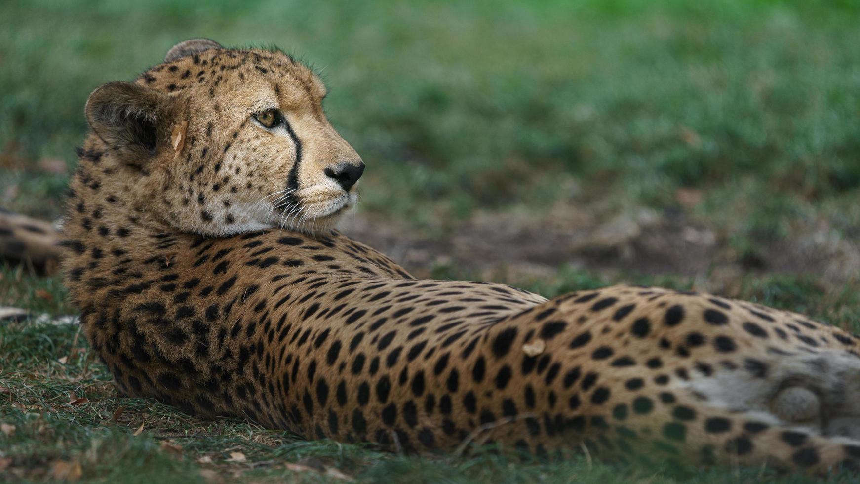 gepard som vilar efter lunch foto