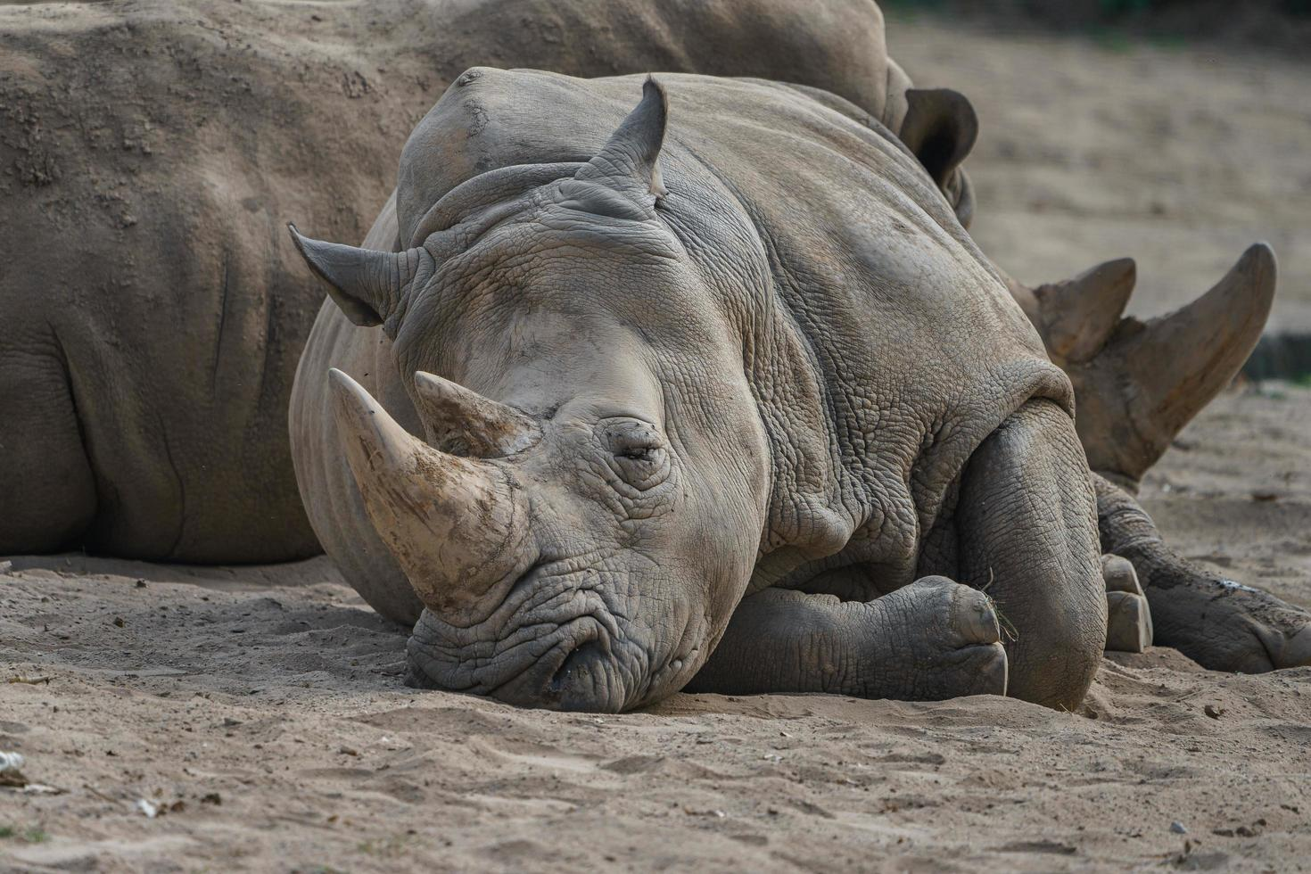 vit noshörning vilar foto