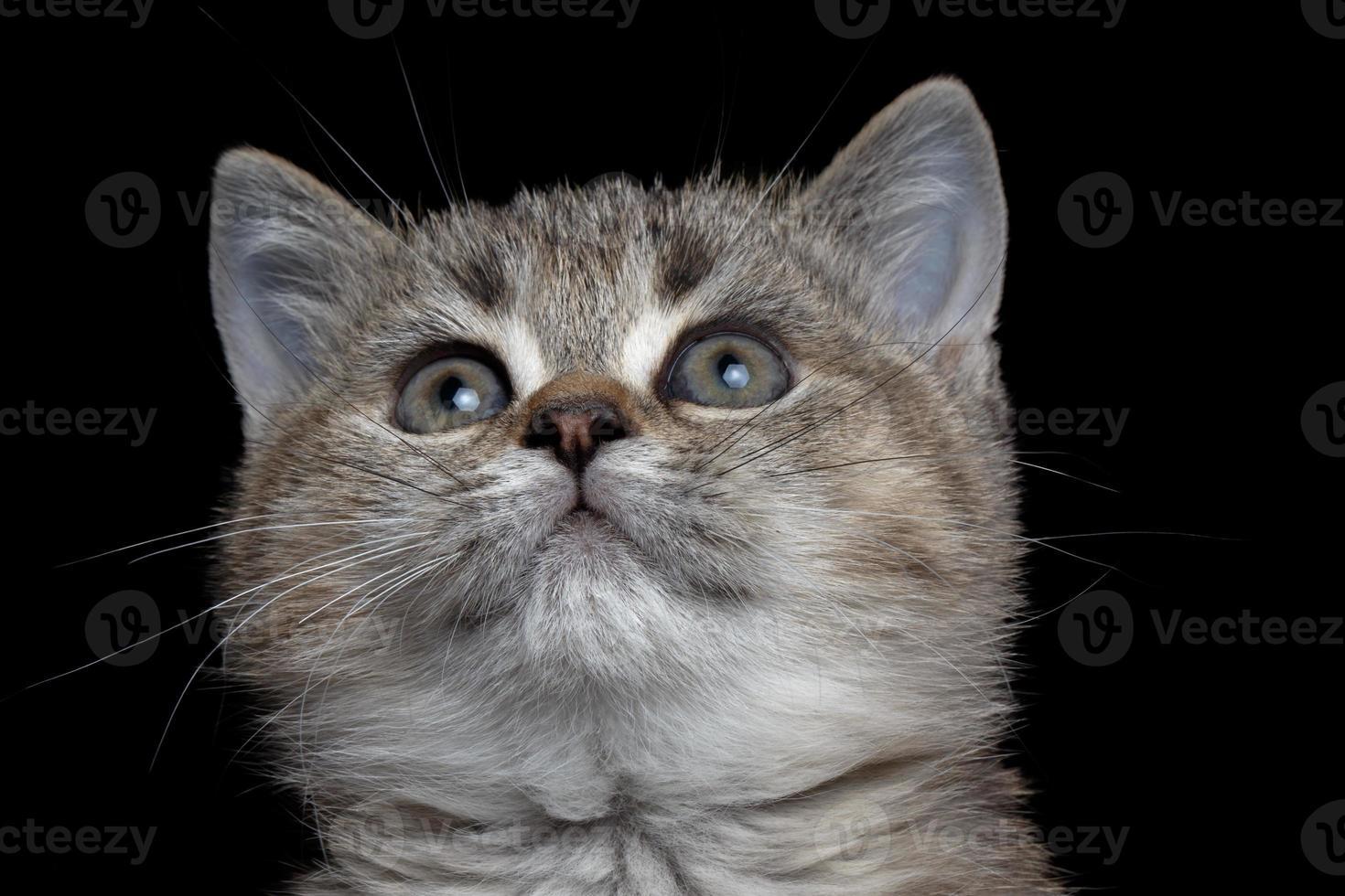 närbild brittiska kitty foto