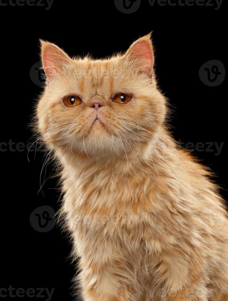närbild porträtt av exotiska ingefära korthår katt på svart foto