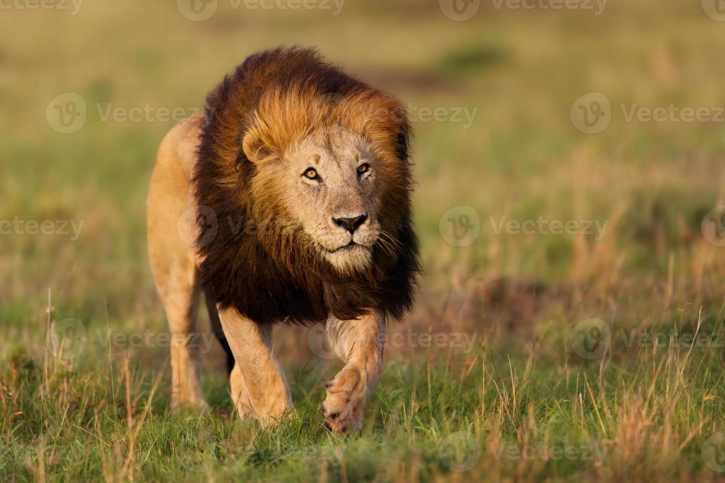 lion notch 2 i masai mara, kenya foto