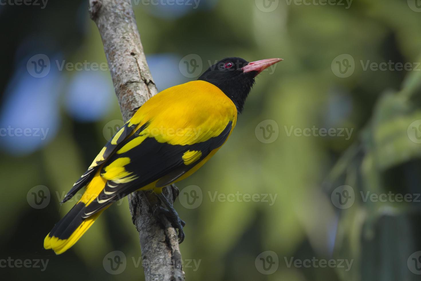 svart huva oriole fågel i full ram, nepal foto