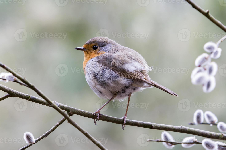 europeisk robin (erithacus rubecula) foto