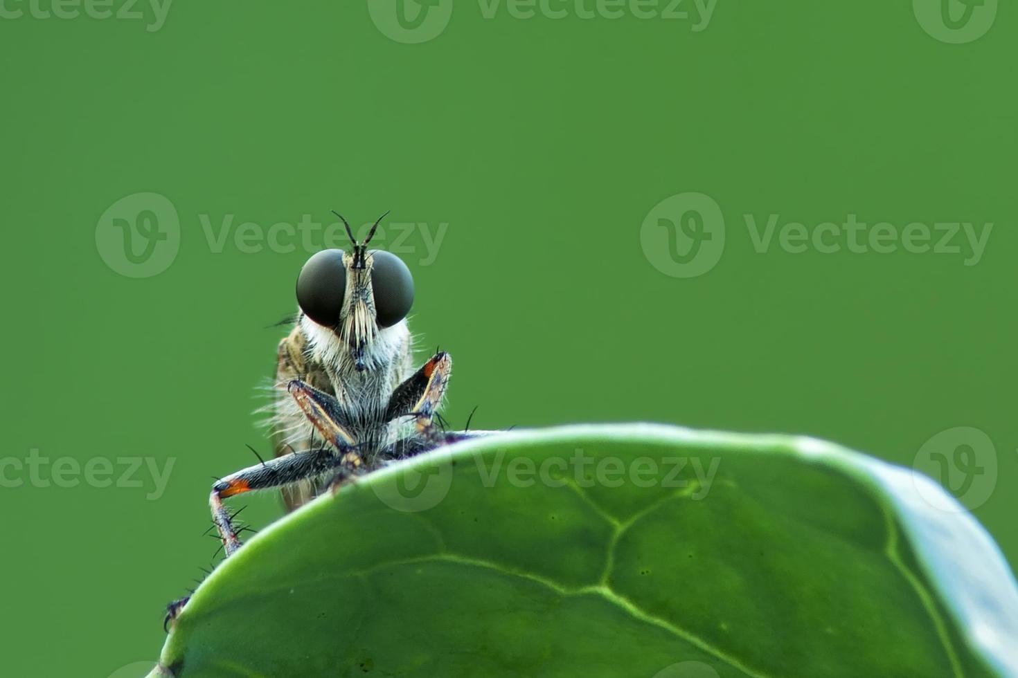rovflugor foto