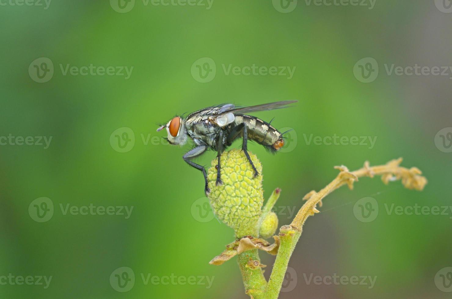 flyga på longanfrukten foto