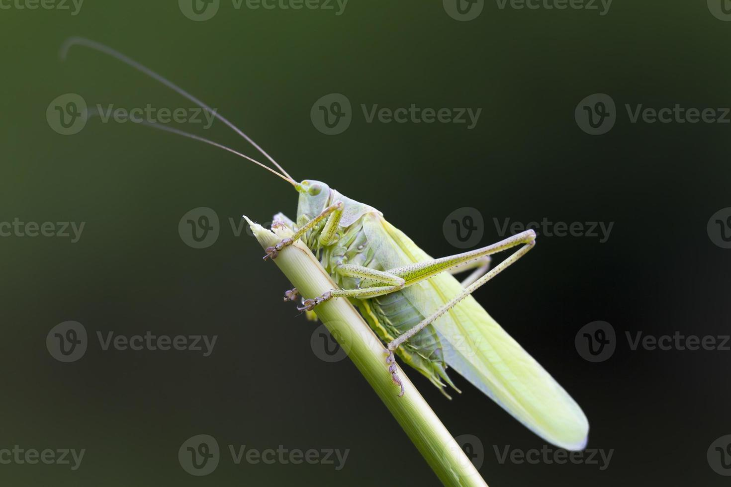 stor grön busk-cricket närbild foto