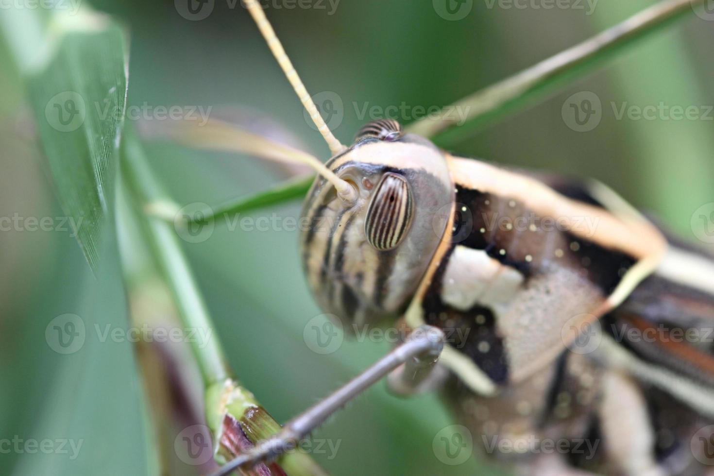 makro av brun gräshoppa uppflugna på blad. foto