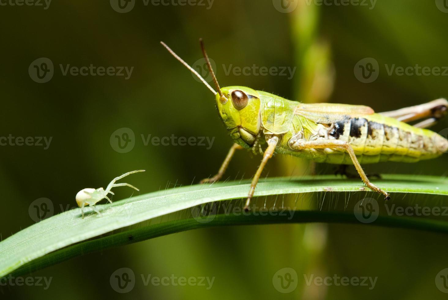 gräshoppa och spindel foto