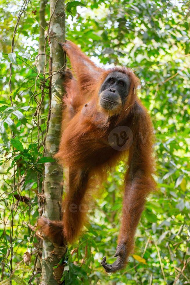 kvinnlig orangutang som hänger på ett träd foto